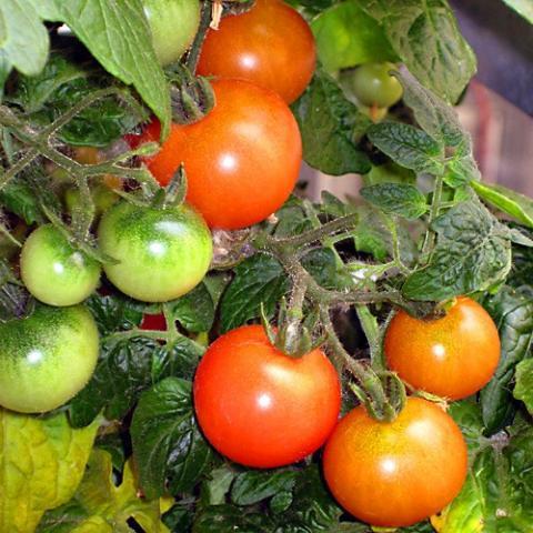 Tomaten, frisch | Hochgeladen von: swainn