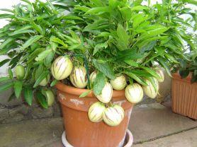Pepino, Melonenbirne, Birnenmelone | Hochgeladen von: cantaloupe