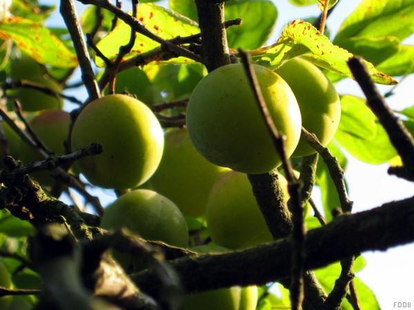 Gelbe Pflaumen, frisch am Baum | Hochgeladen von: swainn