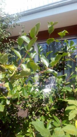 Aronia - Apfelbeere frisch   Hochgeladen von: heinzmann